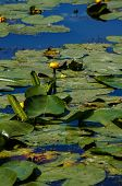 foto of water lily  - Yellow Water - JPG