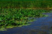 stock photo of water lily  - Yellow Water - JPG