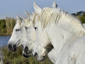 foto of hackney  - Portrait of the White Camargue Horse - JPG