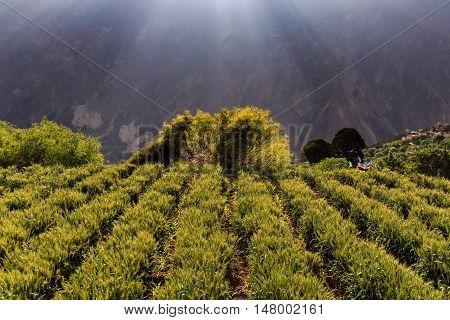 Barley on sunshine day at Danba Village China