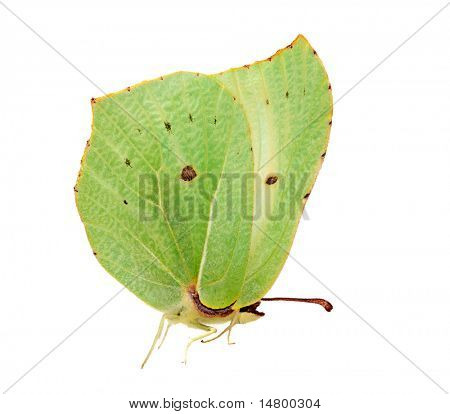Beautiful brimstone butterfly isolated on white background