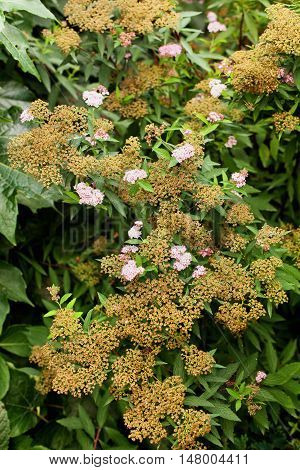 Spiraea japonica the Japanese meadowsweet or Japanese spiraea plant in the family Rosaceae low ornamental shrub with small pink flowers
