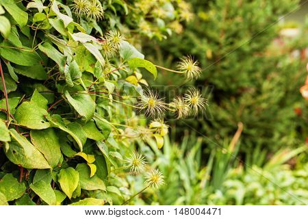 Shrub of clematis with seeds on the background of foliage. Selective focus. Vertical image