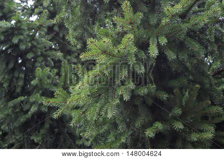 Evergreen christmas tree needles photo background. Old big bush branches soft focus