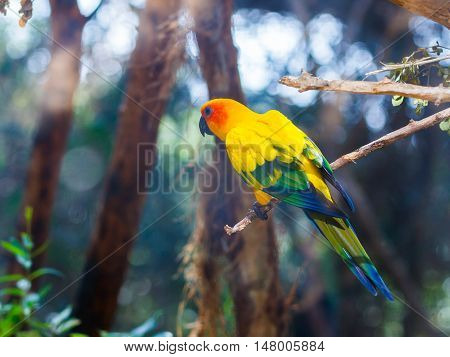 Sun Conure - Aratinga Solistalis - is sits on a tree branch