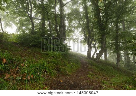Trail In The Woods Vanishing In The Mist