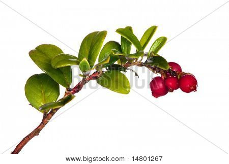 rama de vaca-frutos rojos aislado sobre fondo blanco