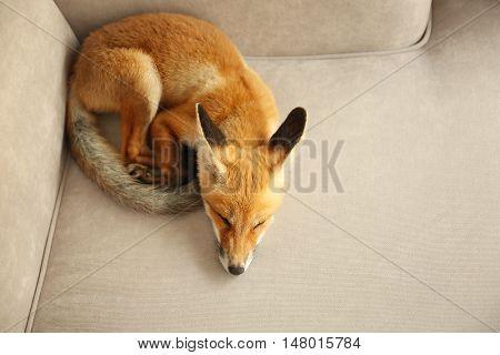 Beautiful fox cub sleeping on sofa in room