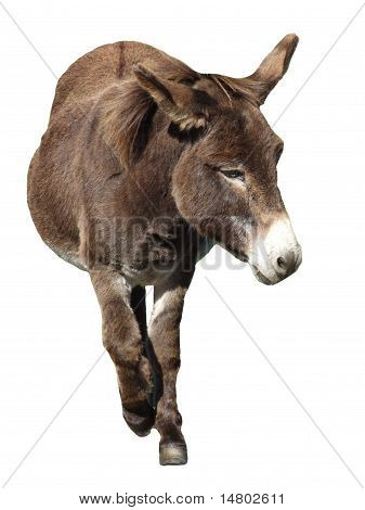 Donkey Isolated