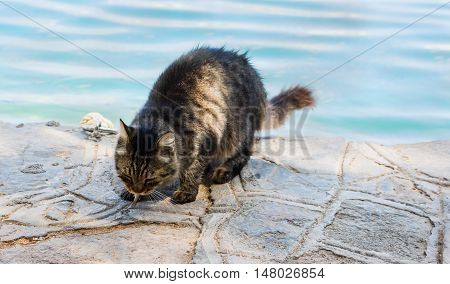 Big fluffy homeless cat has caught a fish and eats it. He needs help home treatment care