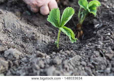 Human hands hold the seedlings to be planted in the ground.