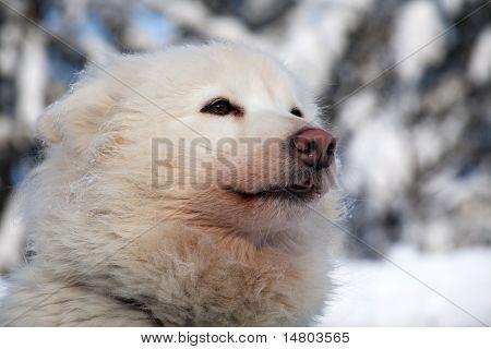 Profile Portrait Of Husky Dog