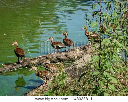 several brown ducks on a log in the marsh
