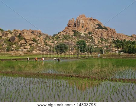 Unique landscape in Hampi Karnataka. Granite mountain and rice field. Popular travel destination and place for rock climbing.