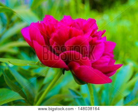 peonies. Bouquet of pink peonies close up. Gentle pink background