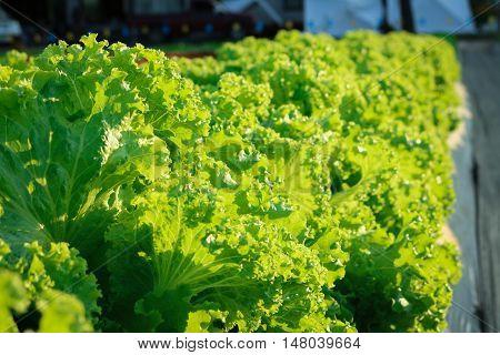 Lactuca sativa lettuce grow in field plant.