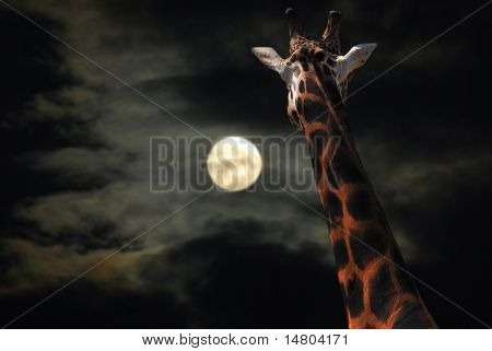 Giraffe Staring At Moon