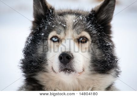 Sled Dog With Different Eyes