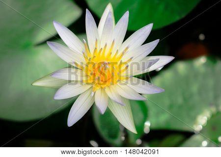 Close up beautiful white lotus blooming in pond.