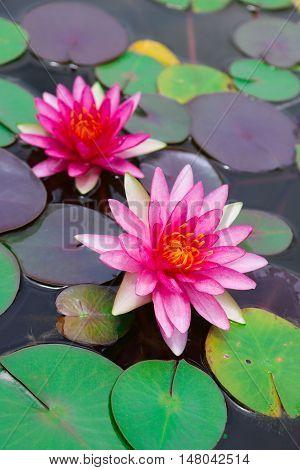Two beautiful pink lotus blooming in pond.