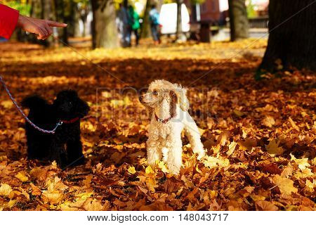 woman admonishes poodle in a beautiful autumn park