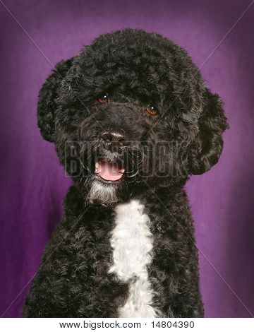 A portrait of a young Portuguese Water Spaniel