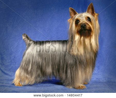A portrait of a male Silky Terrier