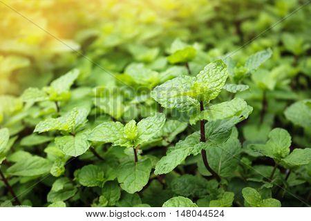 Close up Kitchen Mint growth in garden.