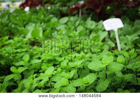 Close up fresh Kitchen Mint growth in garden.