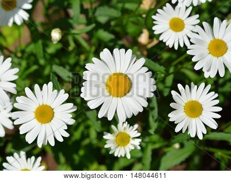 Green grass and flower of chamomiles background