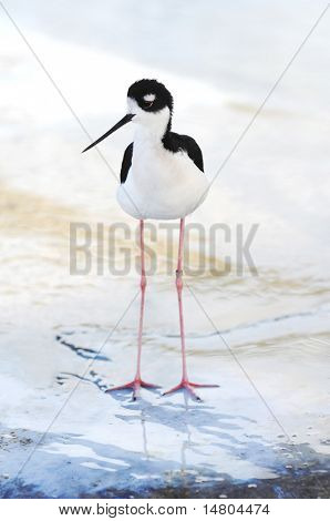A photo of a young Black-necked Stilt