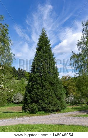 Young conical sequoia in spring on a footpath in rural landscape