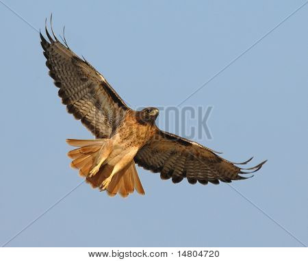 A male Red Tail Hawk begins to soar above a field in Southern California searching for it's next meal.