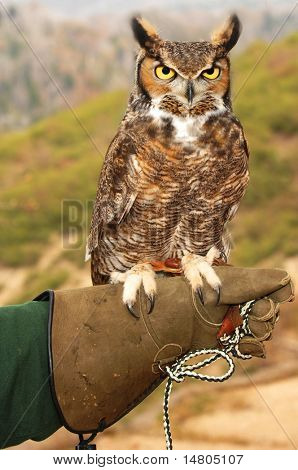 A Great Horned Owl perched on his handler's glove