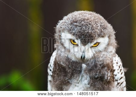 Portrait of snowy owl chick on a brown background
