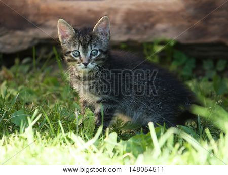 Adorable gray striped kitten in sunlight playing on green grrass outdoors