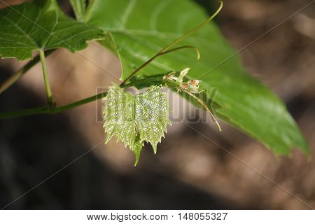Green leaf on a wine growing in the garden