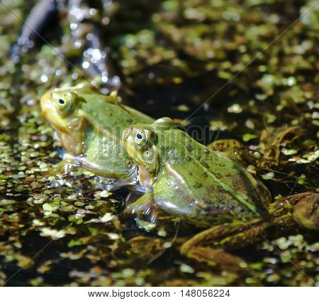 Green frogs swimming in the pond with duckweed