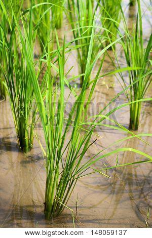rice plant at