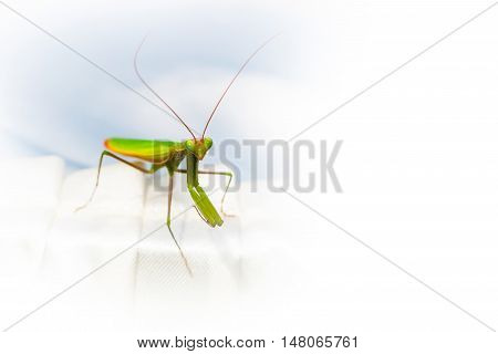 Mantis or Praying Mantis copyspace nature insect background