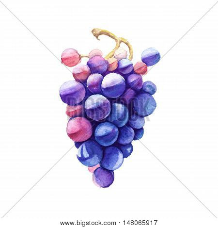 Branch of pink grapes. Wine grapes. Isolated on a white background. Watercolor illustration.
