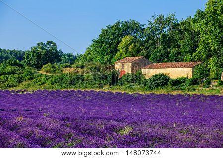 Lavanda fields of the French Provence near Valensole