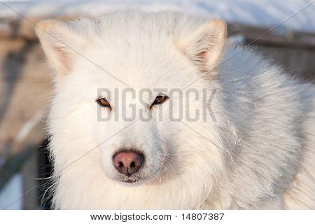 White Husky Portrait