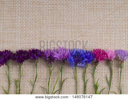 Background cornflowers. Cornflowers lie at the bottom on sackcloth. Blue purple pink cornflowers lie on the texture of fabric.