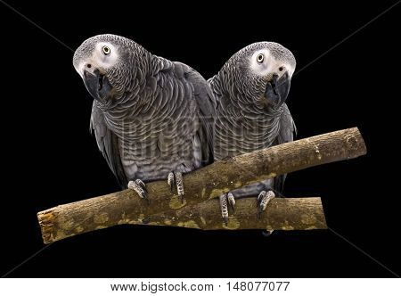 Macaw parrot isolated on a black background.
