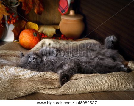 Autumn sleepy mood. The kitchen on the table sleeping sweetly fluffy cute kitten. Pumpkins a bouquet of maple leaves cozy interior details