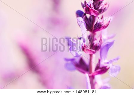 Romantic background with pink sage blossom, blurred. Focus on one blooming salvia flower in meadow. Bright medicinal plants