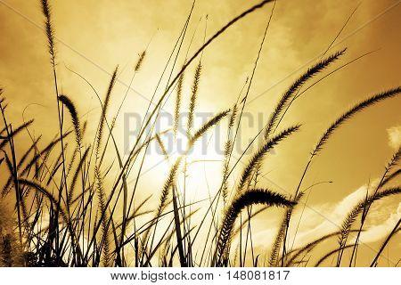Fountain grass or Feather grass close up sunset sky evening brilliant golden light.