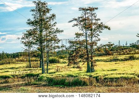 two cypress tress stand tall in a marsh
