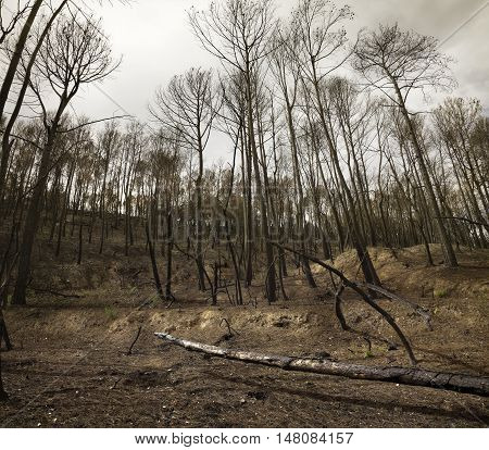 View of bleak forest after fire. Burned trees.